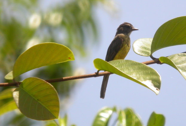 Myiozetetes luteiventris, Dusky-chested Flycatcher,  door Foek Chin Joe