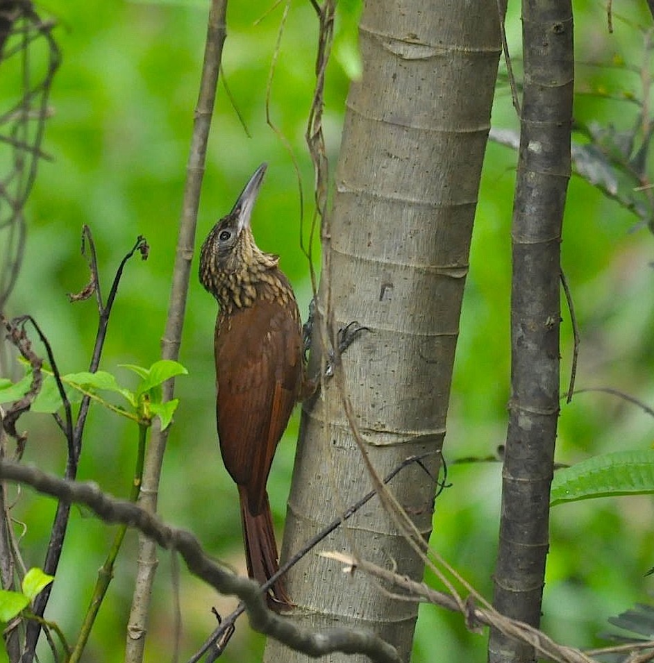 Xiphorhynchus guttatus, Buff-throated Woodcreeper,  door Armida Madngisa