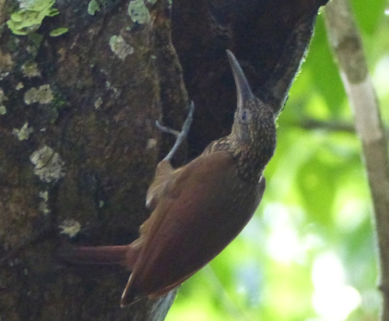 Xiphorhynchus guttatus, Buff-throated Woodcreeper,  door Jan Hein Ribot