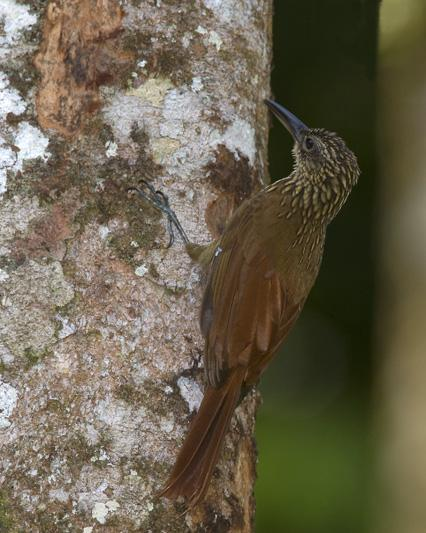 Xiphorhynchus guttatus, Buff-throated Woodcreeper,  door Dennis Binda