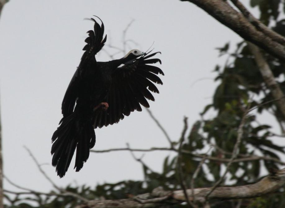 Pipile cumanensis, Blue-throated Piping-Guan, Wet