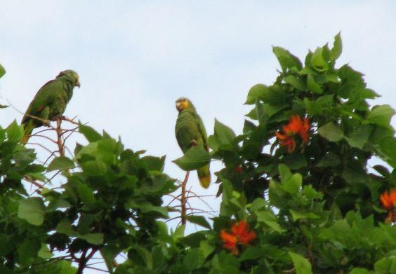 Amazona amazonica, Orange-winged Parrot, Kule kule, Kulekule, Koelekoele door Ronald Teulings