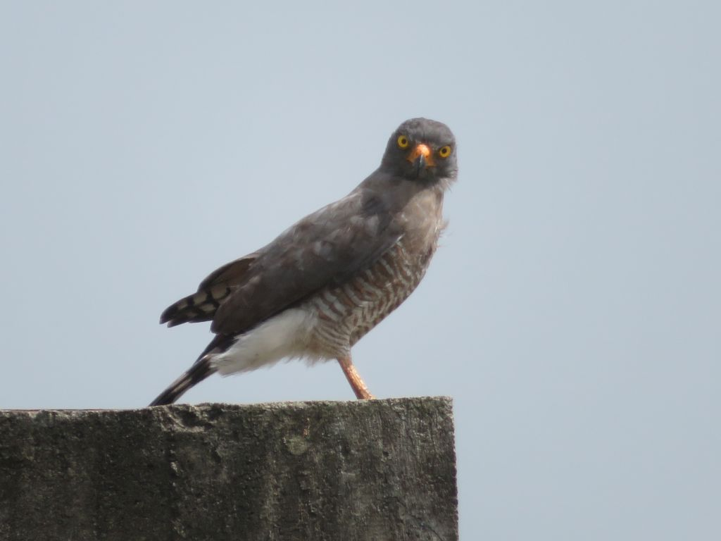 Rupornis magnirostris, Roadside Hawk, Doifi-aka door Stephan Ferrier