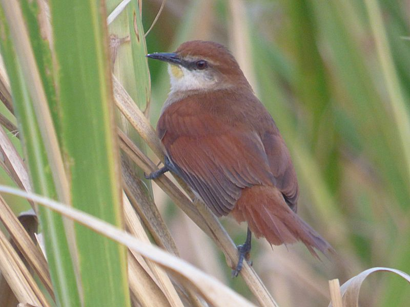Certhiaxis cinnamomea, Yellow-chinned Spinetail, Fityo door Erik Toorman