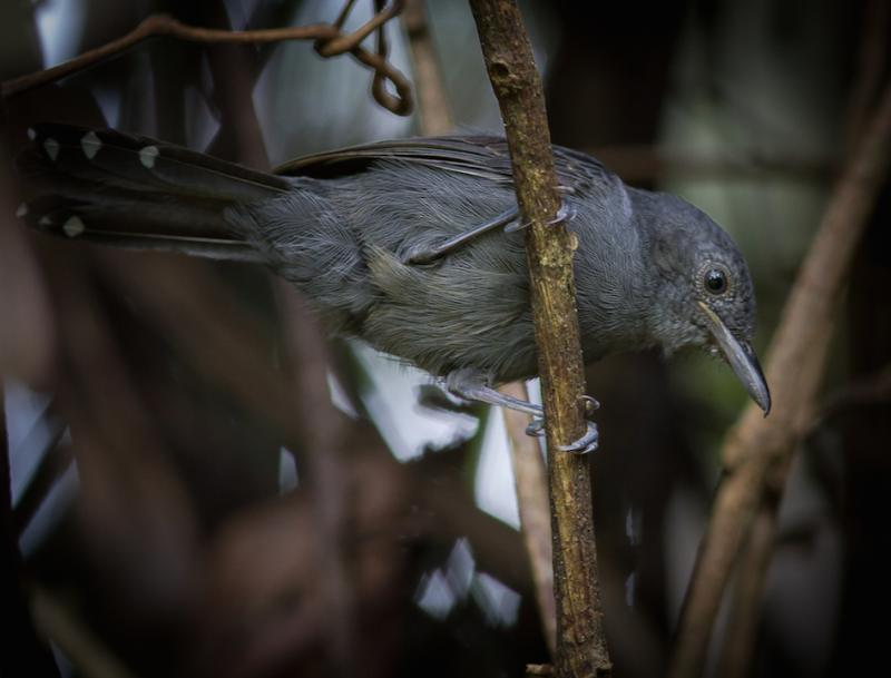 Cercomacra cinerascens, Gray Antbird,  door Matthias Fernandez