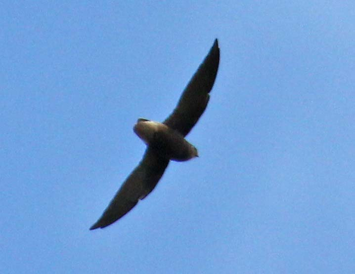 Chaetura brachyura, Short-tailed Swift,  door Martin Reid