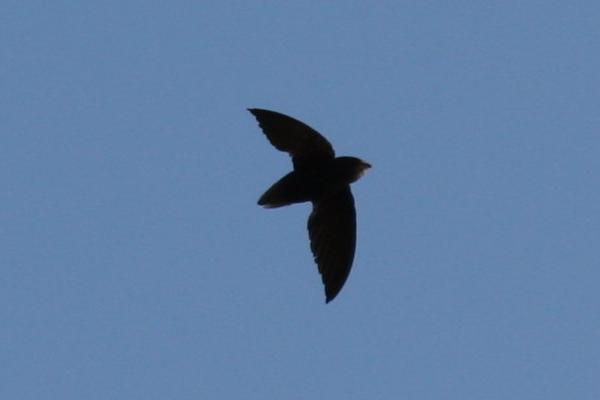 Chaetura brachyura, Short-tailed Swift,  door Carl Beel