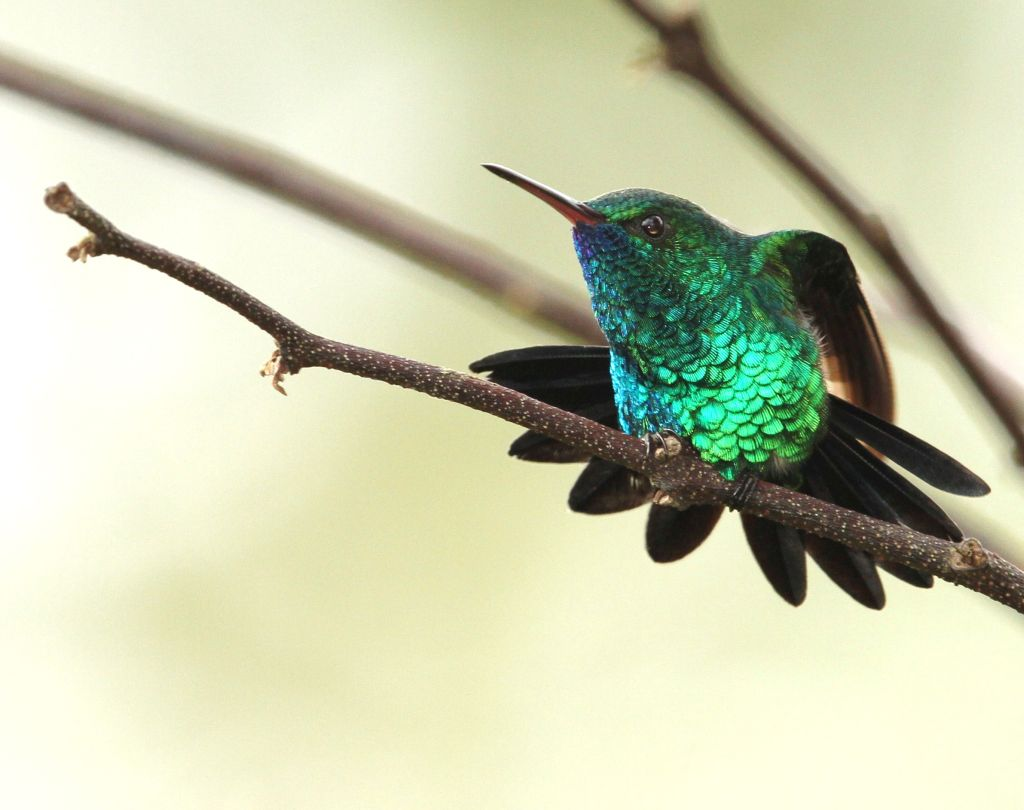 Chlorestes notata, Blue-chinned Sapphire,  door Roland Jantot