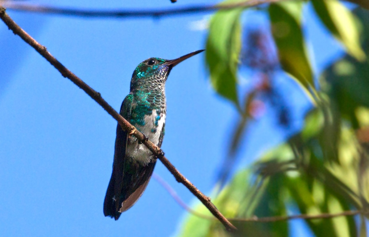 Chlorestes notata, Blue-chinned Sapphire,  door Michel Giraud-Audine