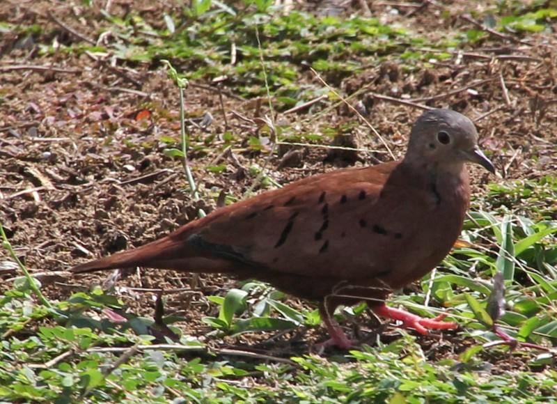 Columbina talpacoti, Ruddy Ground-Dove, Stonka door Lidwien Peterse