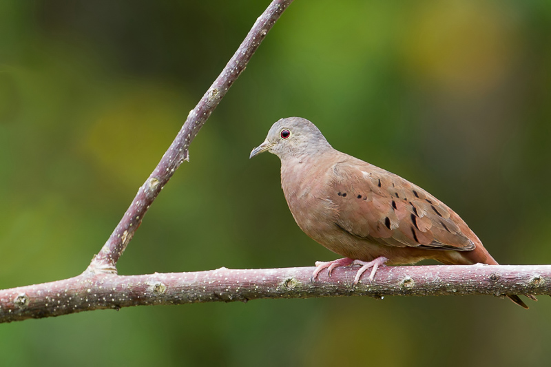 Columbina talpacoti, Ruddy Ground-Dove, Stonka door Paul van Giersbergen