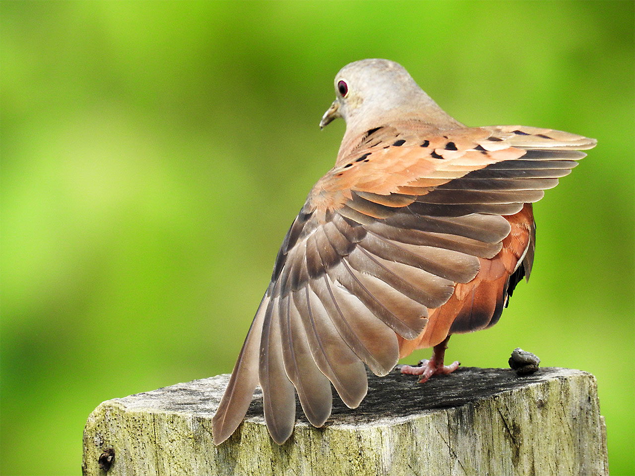Columbina talpacoti, Ruddy Ground-Dove, Stonka door Hans Majong