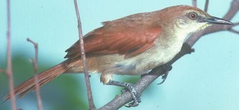 Certhiaxis cinnamomea, Yellow-chinned Spinetail, Fityo door John S. Dunning