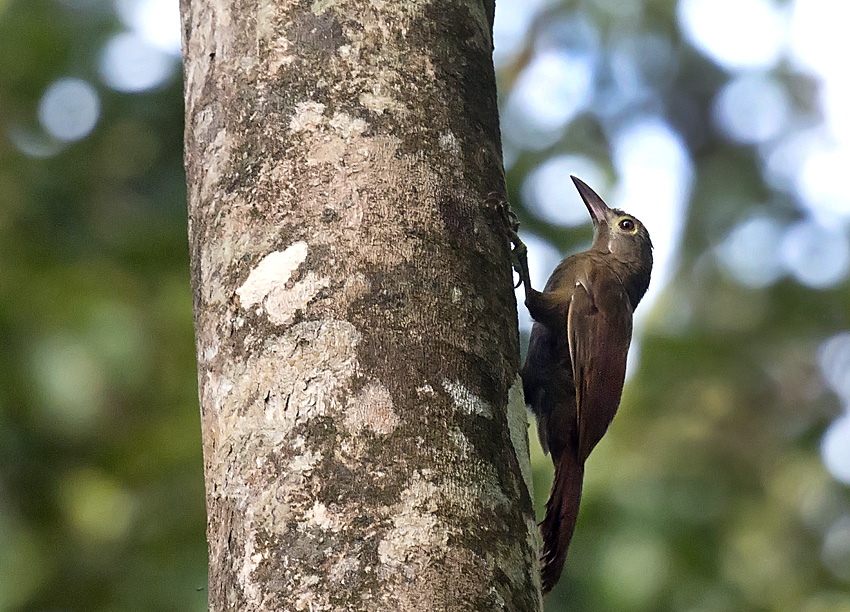Hylexetastes perrotii, Red-billed Woodcreeper,  door Daniel Lopez Velasco