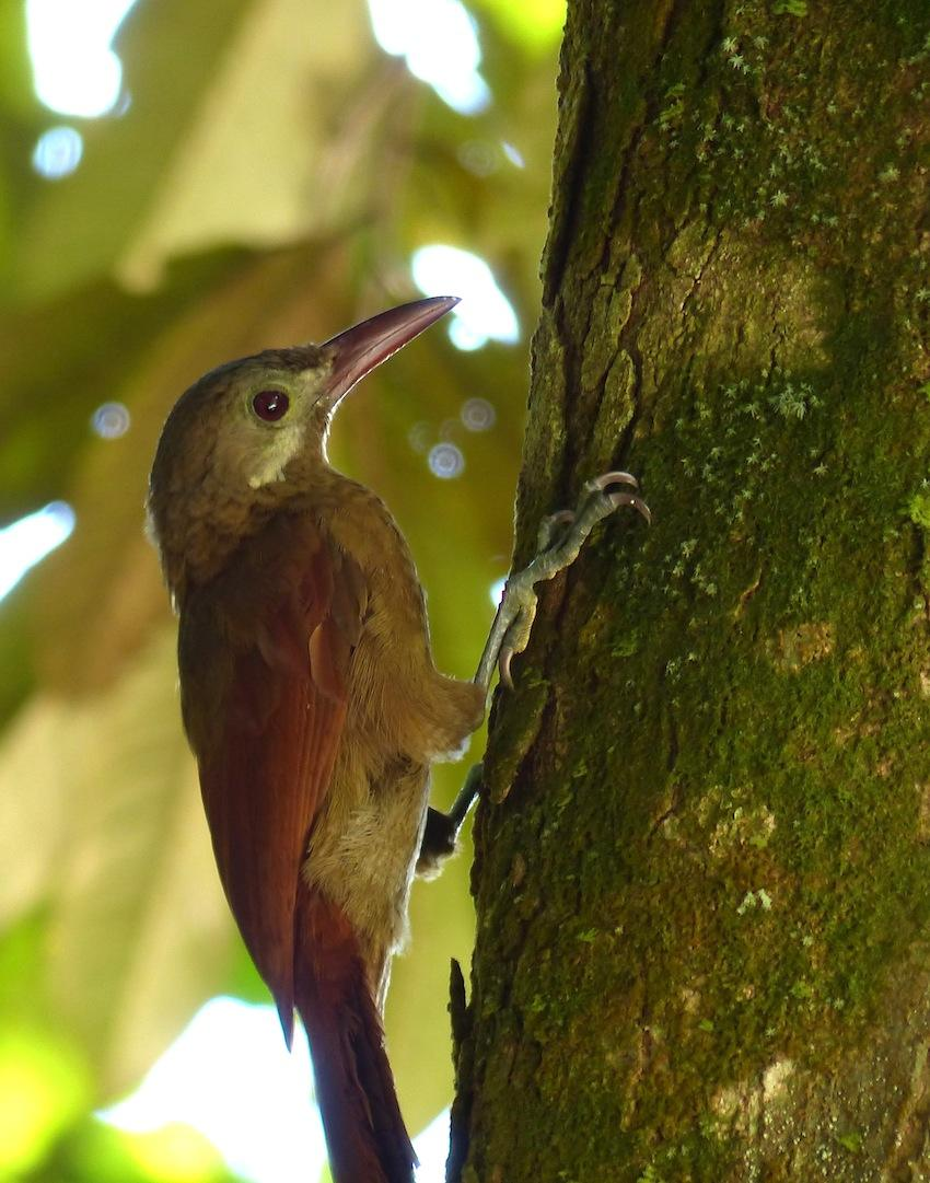 Hylexetastes perrotii, Red-billed Woodcreeper,  door Matthias Fernandez