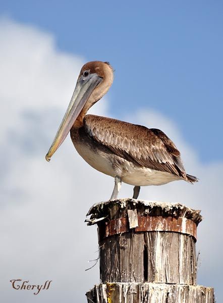 Pelecanus occidentalis, Brown Pelican, Pelikaan / Kodyo door Cheryll Tjon