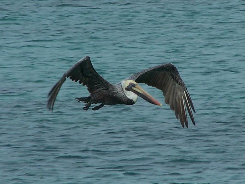 Pelecanus occidentalis, Brown Pelican, Pelikaan / Kodyo door Jan Hein Ribot