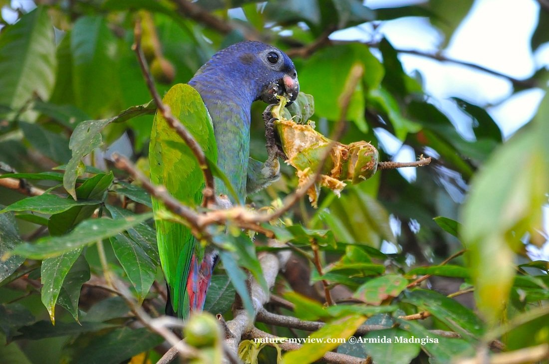 Pionus menstruus, Blue-headed Parrot, Margrietje, Margriki door Armida Madngisa