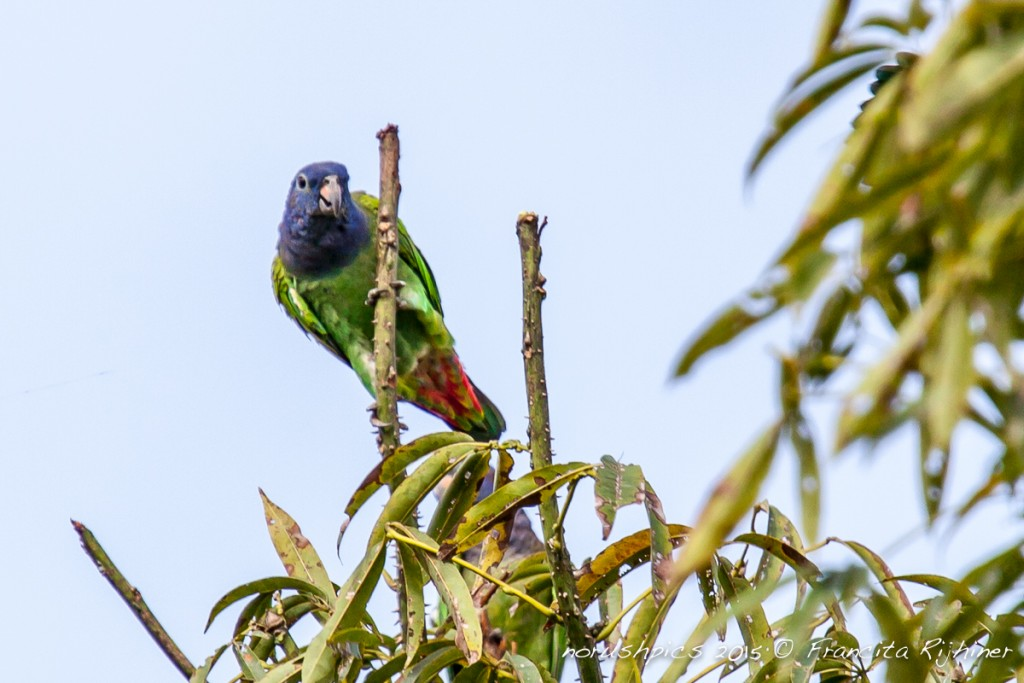 Pionus menstruus, Blue-headed Parrot, Margrietje, Margriki door Francita Rijhiner