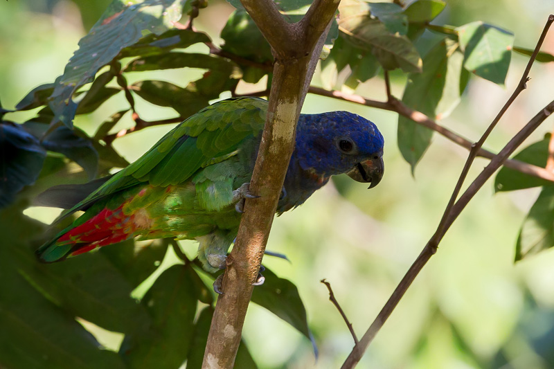Pionus menstruus, Blue-headed Parrot, Margrietje, Margriki door Paul van Giersbergen